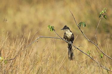 Jacobin cuckoo (Clamator jacobinus) on twig, India, February.