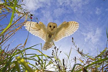 Barn Owl (Tyto alba) hunting/hovering, Somerset, UK, trained bird.