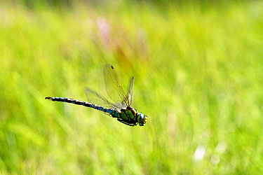 Migrant hawker dragonfly (Aeshna mixta) in flight  over pond at West Harptree Woods, the Mendips, Somerset, UK, August.