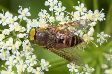 Horsefly (Philipomyia aprica) Nordtirol, Austrian Alps, July.