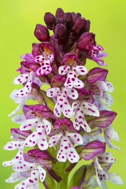 Burnt tip orchid (Orchis ustulata) Nordtirol, Austrian Alps, July.