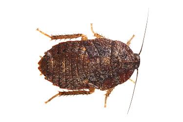 Cockroach nymph (Blattodea) Danum Valley, Sabah, Borneo.