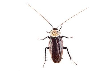 Cockroach (Blattodea) Danum Valley, Sabah, Borneo.