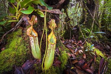 Pitcher plant (Nepenthes veitchii x stenophylla), a natural hybrid. Maliau Basin, Borneo.