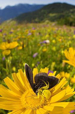 Goldenrod crab spider (Misumena vatia) eating a Chimney sweeper moth (Odezia atrata) Nordtirol, Austrian Alps, July.