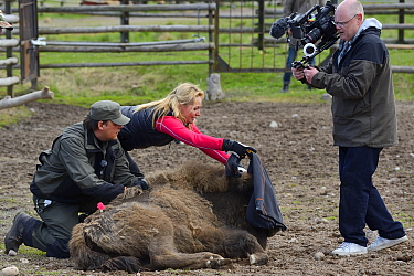 SVT TV host and film crew documenting the transportation of European bison / Wisent (Bison bonasus) from the Avesta Visentpark in Sweden to the Armenis area in the Southern Carpathians, Romania. May 2...