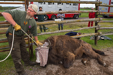 Joep van de Vlasakker with sedated European bison / Wisent (Bison bonasus) ready to load onto lorry for transportation from the Avesta Visentpark in Sweden to the Armenis area in the Southern Carpathi...