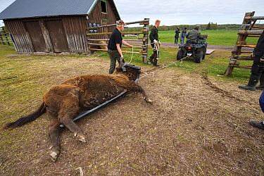 Men using quad bike to move sedated European bison / Wisent (Bison bonasus) before loading onto lorry for transportation from the Avesta Visentpark in Sweden to the Armenis area in the Southern Carpat...