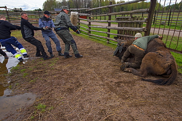 Men preparing to load sedated European bison / Wisent (Bison bonasus) onto lorry for transportation from the Avesta Visentpark in Sweden to the Armenis area in the Southern Carpathians, Romania. May 2...