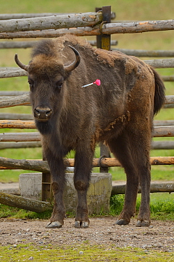 Captive European bison / Wisent (Bison bonasus) darted prior to transportation from the Avesta Visentpark in Sweden to the Armenis area in the Southern Carpathians, Romania. May 2014.