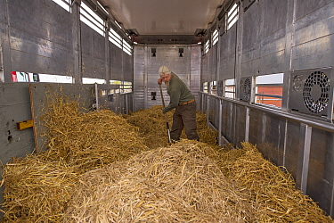 Joep van de Vlasakker preparing the hay in the lorry used to transport European bison / Wisent (Bison bonasus) from the Avesta Visentpark in Sweden to the Armenis area in the Southern Carpathians, Rom...