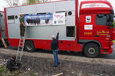 Men hanging sign on lorry used to transport European bison / Wisent (Bison bonasus) from the Avesta Visentpark in Sweden to the Armenis area in the Southern Carpathians, Romania. May 2014.