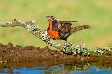 Long-tailed meadowlark (Sturnella loyca) by water, Calden Forest, La Pampa, Argentina