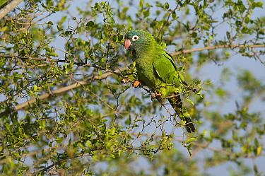 Blue-crowned parakeet (Thectocercus acuticaudatus) Ibera Marshes, Corrientes Province, Argentina