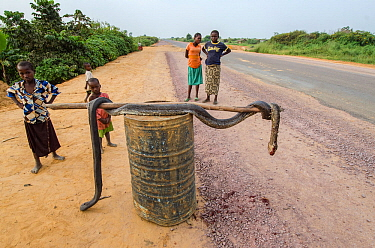 Local people with African rock python (Python sebae) at roadside, killed for bushmeat. Road from Brazzaville to Mbomo, Republic of Congo (Congo-Brazzaville), Africa, June 2013.