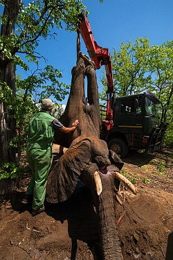 People using crane to load tranquilized Elephant (Loxodonta africana) onto truck.  The Elephants had been darted from a helicopter in order to be returned to the reserve they had escaped from. Zimbabw...