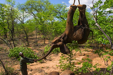 People using crane to load tranquilized Elephant (Loxodonta africana) onto truck. The Elephants had been darted from a helicopter in order to be returned to the reserve they had escaped from. Zimbabwe...