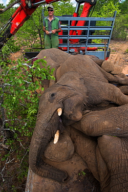 Tranquilized Elephants (Loxodonta africana) on truck. The Elephants had been darted from a helicopter in order to be returned to the reserve they had escaped from. Zimbabwe, November 2013.