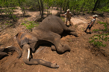 Children from the capture team marking tranquillised Elephants (Loxodonta africana). The Elephants had been darted from a helicopter in order to be returned to the reserve they had escaped from. Zimba...