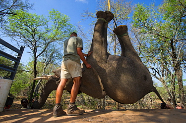 People using crane to lift tranquillised Elephant (Loxodonta africana) onto truck. The Elephants had been darted from a helicopter in order to be returned to the reserve they had escaped from. Zimbabw...