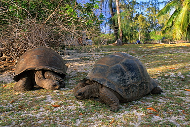 Giant tortoises (Geochelone gigantea), Aldabra Atoll, Natural World Heritage Site, Seychelles, Indian Ocean.