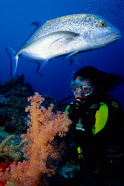 Blue-fin trevally (Caranx melampygus) and scuba diver with soft coral (Dendronephthya), Aldabra Atoll, Natural World Heritage Site, Seychelles, Indian Ocean.