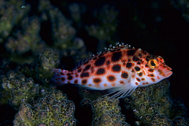 Spotted hawkfish (Cirrhitichthys oxycephalus), Aldabra Atoll, Natural World Heritage Site, Seychelles, Indian Ocean.
