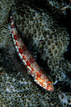 Variegated lizardfish (Synodus variegatus), Aldabra Atoll, Natural World Heritage Site, Seychelles, Indian Ocean.