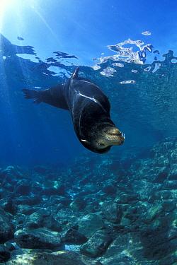 California sea lion, (Zalophus californianus) male, Los Islotes, Sea of Cortez, Baja California peninsula, Mexico, East Pacific Ocean.