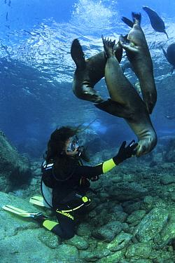 Scuba diver with California Sea Lions (Zalophus californianus), Los Islotes, Sea of Cortez, Baja California peninsula, Mexico, East Pacific Ocean.