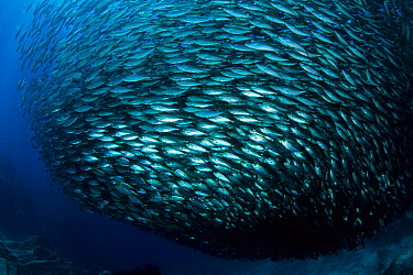 Pacific flatiron herring (Harengula thrissina) bait ball, Sea of Cortez, Baja California peninsula, Mexico, East Pacific Ocean.
