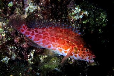 Coral hawkfish (Cirrhitichthys oxycephalus), Sea of Cortez, Baja California peninsula, Mexico, East Pacific Ocean.