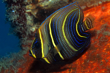 Cortez angelfish (Pomacanthus zonipectus), Sea of Cortez, Baja California peninsula, Mexico, East Pacific Ocean.