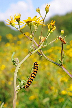 Cinnabar moth caterpillars (Tyria jacobaeae) feeding on Ragwort (Jacobaea vulgaris), Corfe Common, Dorset, UK, July.
