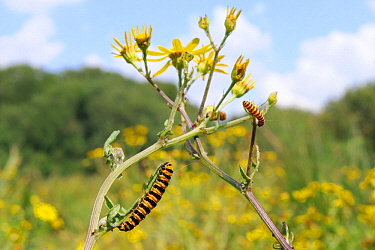 Cinnabar moth (Tyria jacobaeae) caterpillars feeding on Ragwort (Jacobaea vulgaris), Corfe Common, Dorset, UK, July.