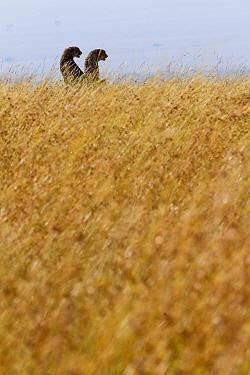 Two cheetahs (Acinonyx jubatus) in dry season,  Masai-Mara Game Reserve, Kenya. February.