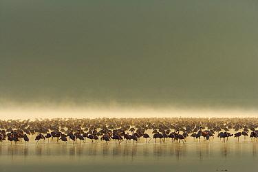 Lesser flamingo (Phoeniconaias minor) flock in the mist, Lake Nakuru, Kenya. March.
