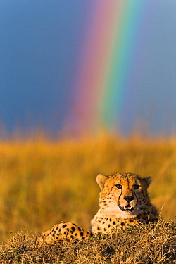 Cheetah (Acinonyx jubatus) resting with rainbow behind it, Masai-Mara Game Reserve, Kenya. September.
