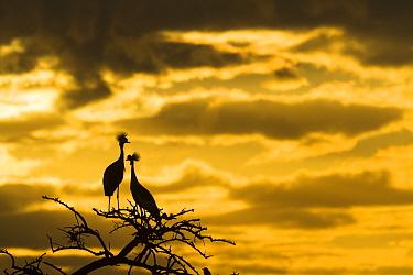 Crowned crane (Balearica regulorum gibbericeps) pair at sunrise, Masai-Mara Game Reserve, Kenya. June.