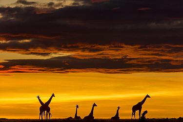 Masai giraffe (Giraffa camelopardalis tippelskirchi) herd at sunrise, Masai-Mara Game Reserve, Kenya. November.