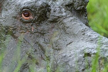 Close up of hippopotamus (Hippopotamus amphibius) male covered in mud, Masai-Mara game reserve, Kenya. March.