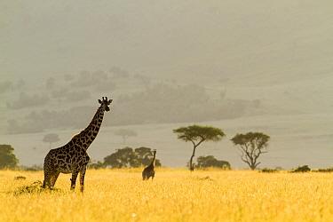 Masai giraffes (Giraffa camelopardalis tippelskirchi) in dry season, Masai-Mara Game Reserve, Kenya. March.