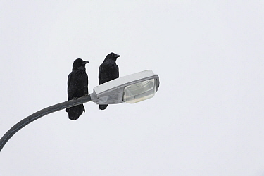 Ravens (Corvus corax) perched on lamppost, Grundarfjordur, Iceland, March.