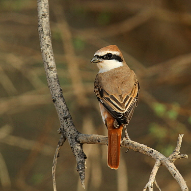 Red tailed shrike (Lanius phoenicuroides) male perched, during migration, Oman, April