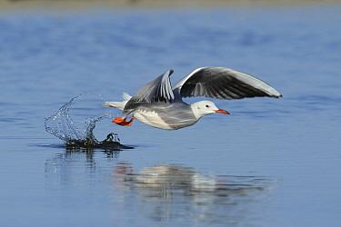Slender billed gull (Chroicocephalus genei) taking off from water, Oman, December