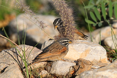 Striolated bunting (Emberiza striolata) feeding, Oman, December