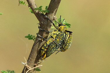 Sulphurous jewel beetle (Julodis euphratica) male attempting to mate with female, the wrong way around, April, Oman