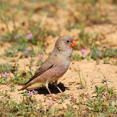 Trumpeter finch (Bucanetes githagineus) male on the ground amongst flowers, Oman, April