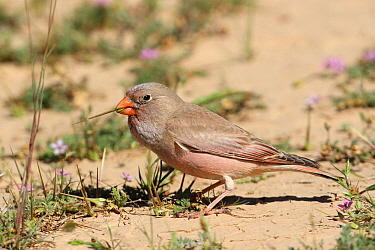 Trumpeter finch (Bucanetes githagineus) male feeding on the ground, Oman, April