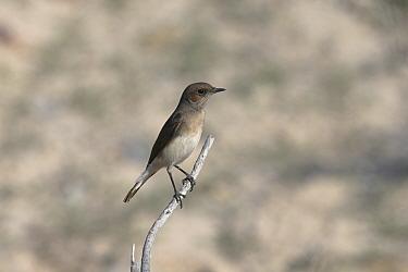 Variable wheatear (Oenanthe picata) female on twig, Oman, December